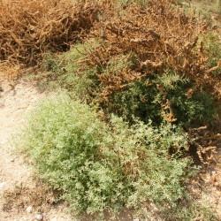 معلومات عن نبات الهرم Zygophyllum-coccineum_1