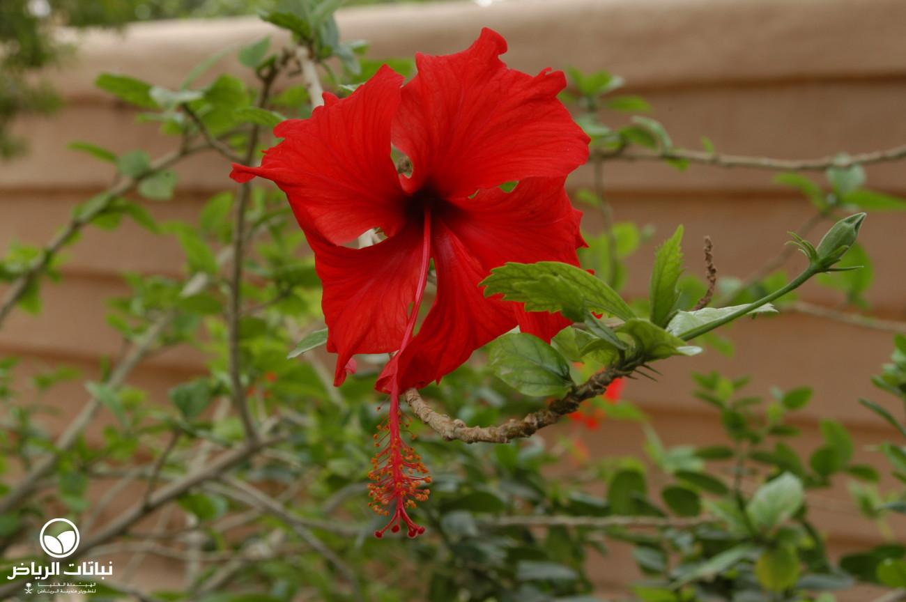 Riyadh Plants Chinese Hibiscus