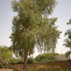 Australian Flame Tree, Flame Kurrajong