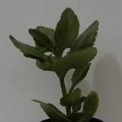 نبات الألماسة