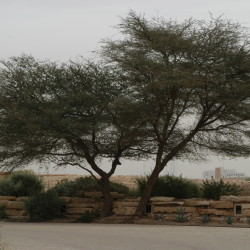 السنط العربي، قرض