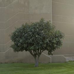 شجرة الصدأ