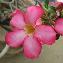 وردة الصحراء، عدنة، الإسفيد