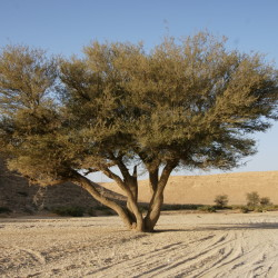 السمر النجدي، السنط الورقي، السنط العراقي