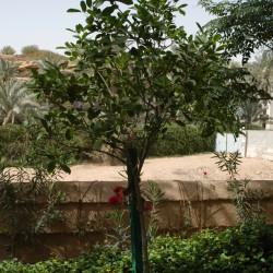 شجرة البوق