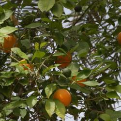 النارنج، برتقال إشبيلية الحامض